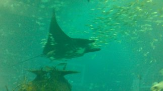 Manta Ray at S.E.A Aquarium, Sentosa, Singapore. Manta ray really is followed by bunch of smaller fishes around, just like in Finding Nemo :3
